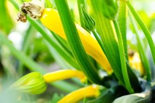 Zucchini (Photo by Dong Kim)